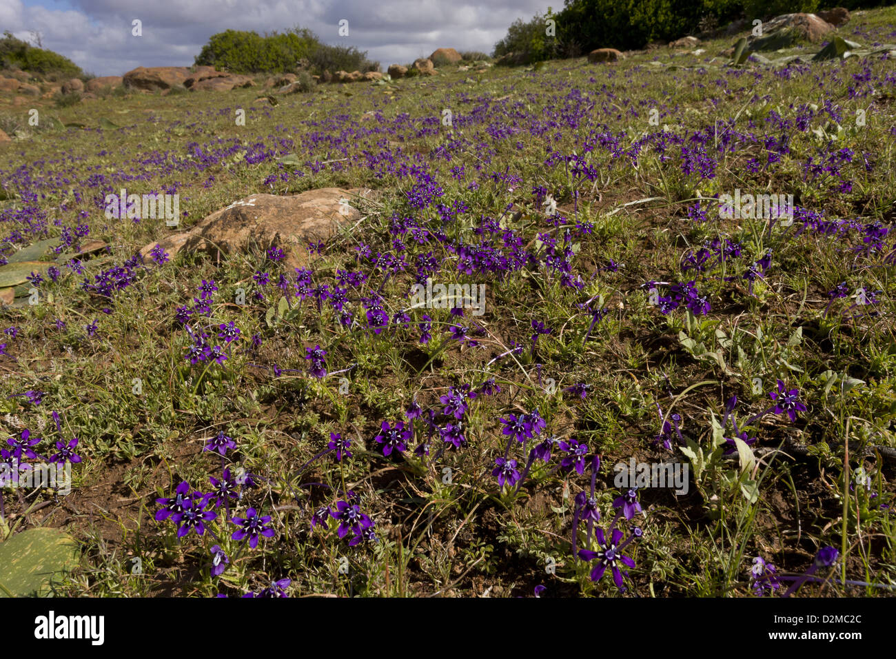 Iris-atractivo relativo, pintado pétalo (Lapeirousia Nieuwoudtville oreogana) creciendo en reserva, Sudáfrica Foto de stock