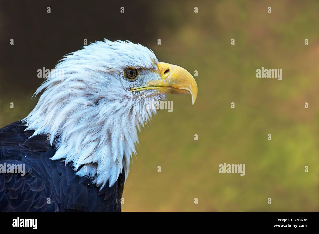 Cautiva el águila calva (Haliaeetus leucocephalus), el oso pardo y el lobo Discovery Center, West Yellowstone, Imagen De Stock