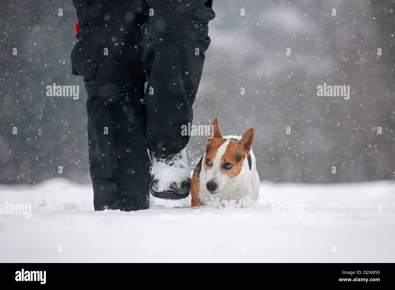 Jack Russell terrier pasear perros con dueño en la nieve durante las nevadas en invierno Imagen De Stock