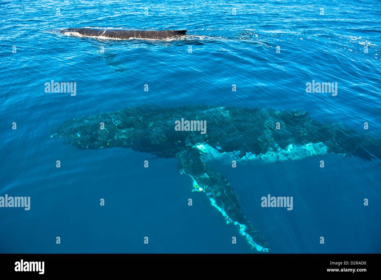 La ballena jorobada (Megaptera novaeangliae) en Harvey Bay, Queensland, Australia, el Pacífico Imagen De Stock