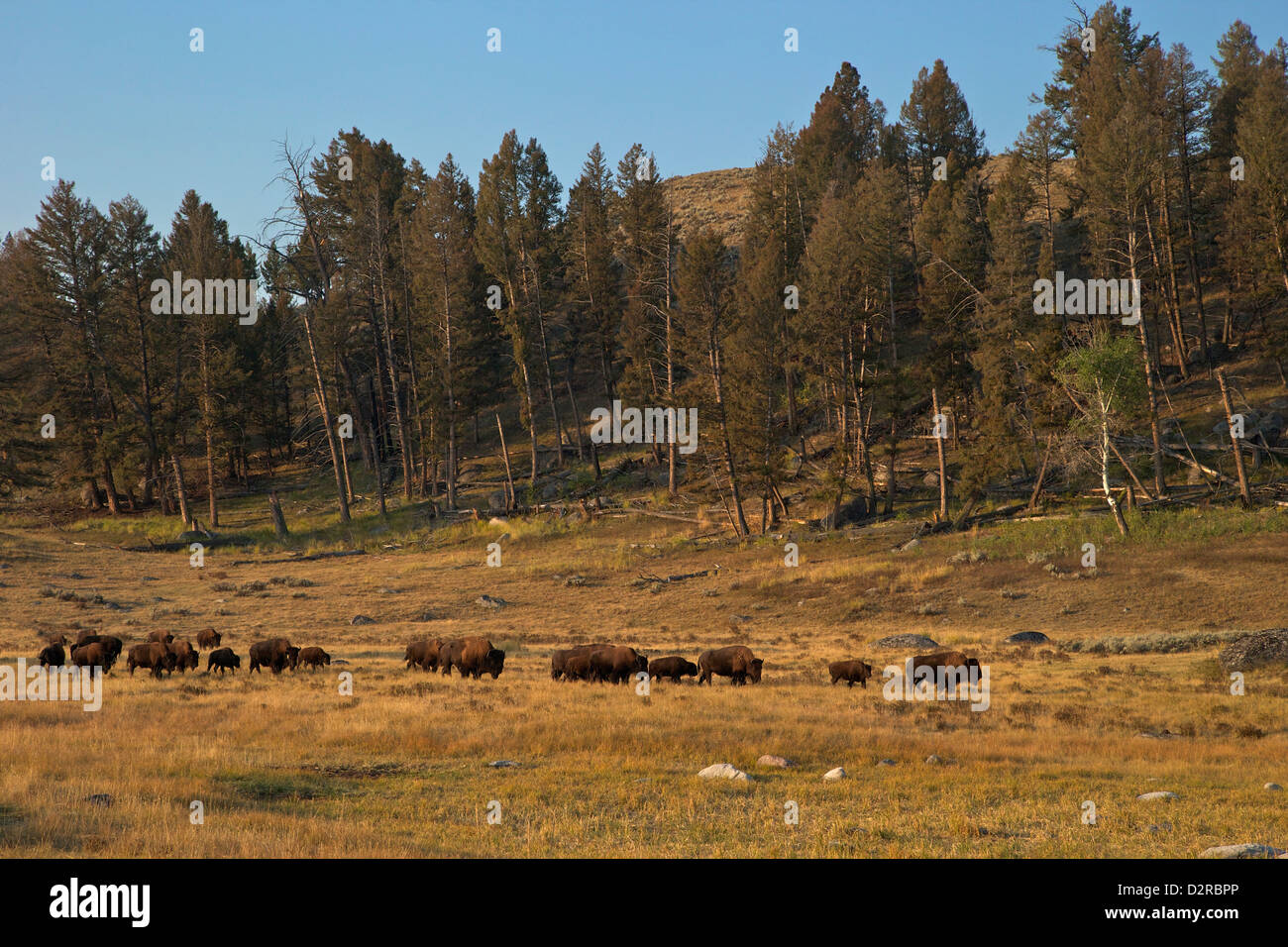 Manada de bisontes, temprano en la mañana el sol, valle Lamar, el Parque Nacional Yellowstone, Wyoming, EE.UU. Foto de stock