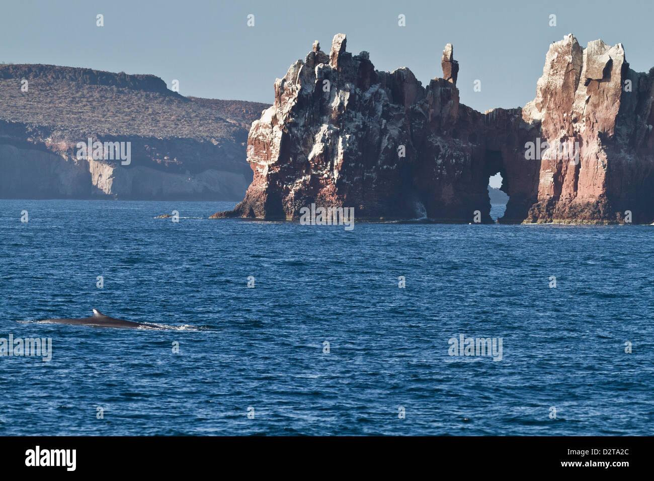 Adulto rorcual común (Balaenoptera physalus), los islotes, el Golfo de California (Mar de Cortés), Baja California Sur, México Foto de stock