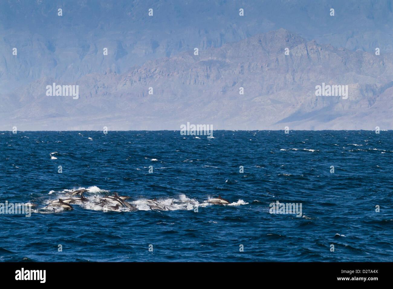 Larga picuda delfines comunes (Delphinus capensis), Isla San Esteban, en el Golfo de California (Mar de Cortés), Baja California, México Foto de stock