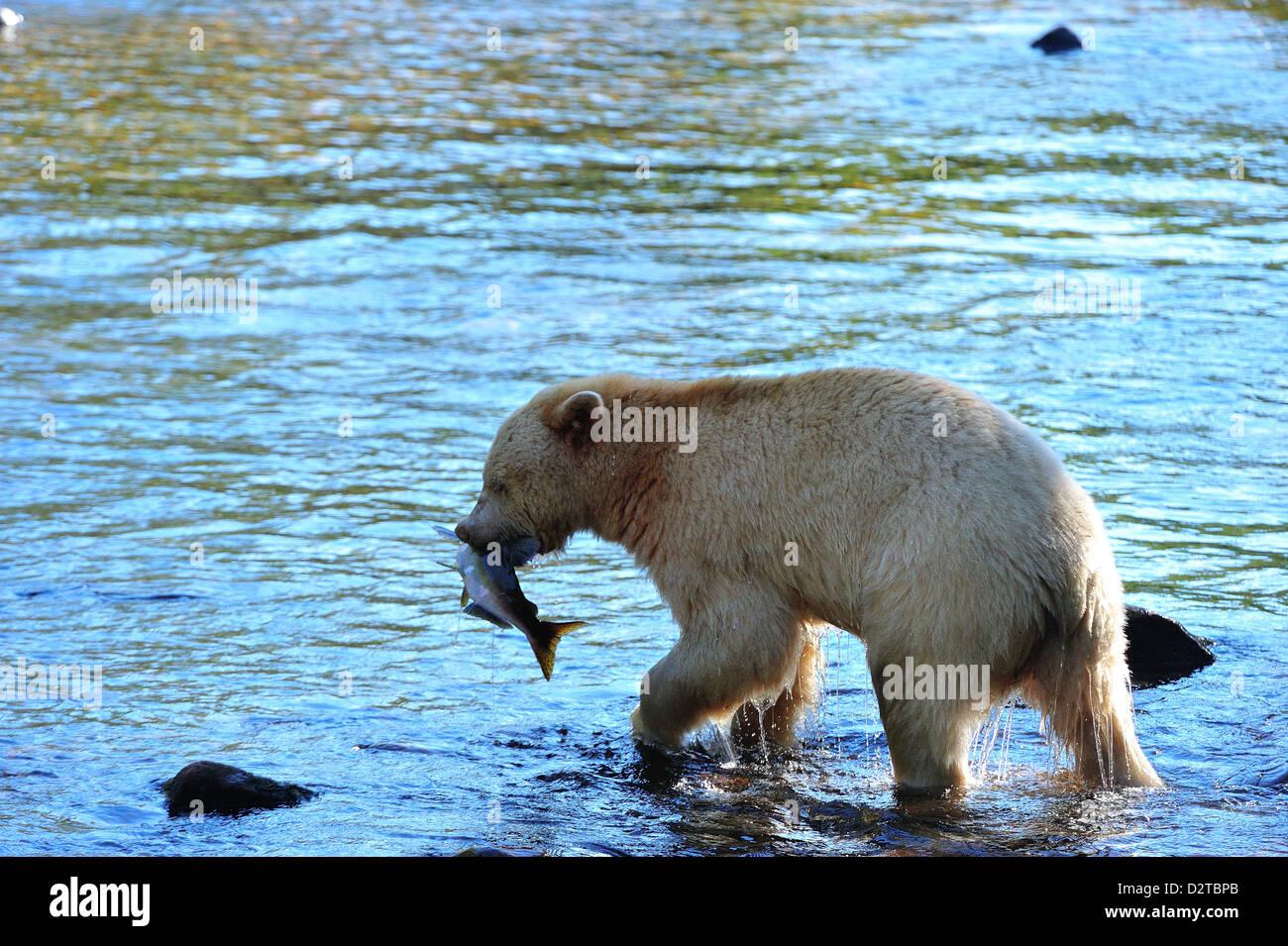 Spirit bear (oso Kermode) con la captura de salmón, Great Bear Rainforest, British Columbia, Canadá, América Imagen De Stock
