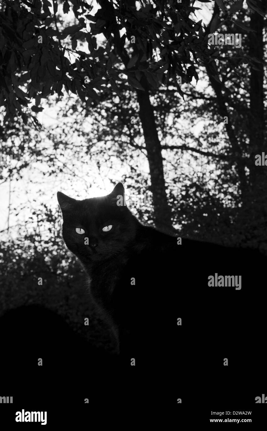Ojos de gato negro en la sombra de un bosque Imagen De Stock