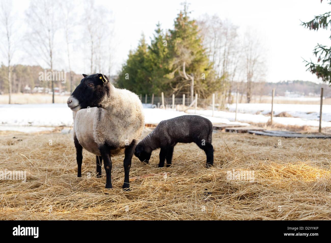 Suffolk ovejas y su cordero Foto de stock