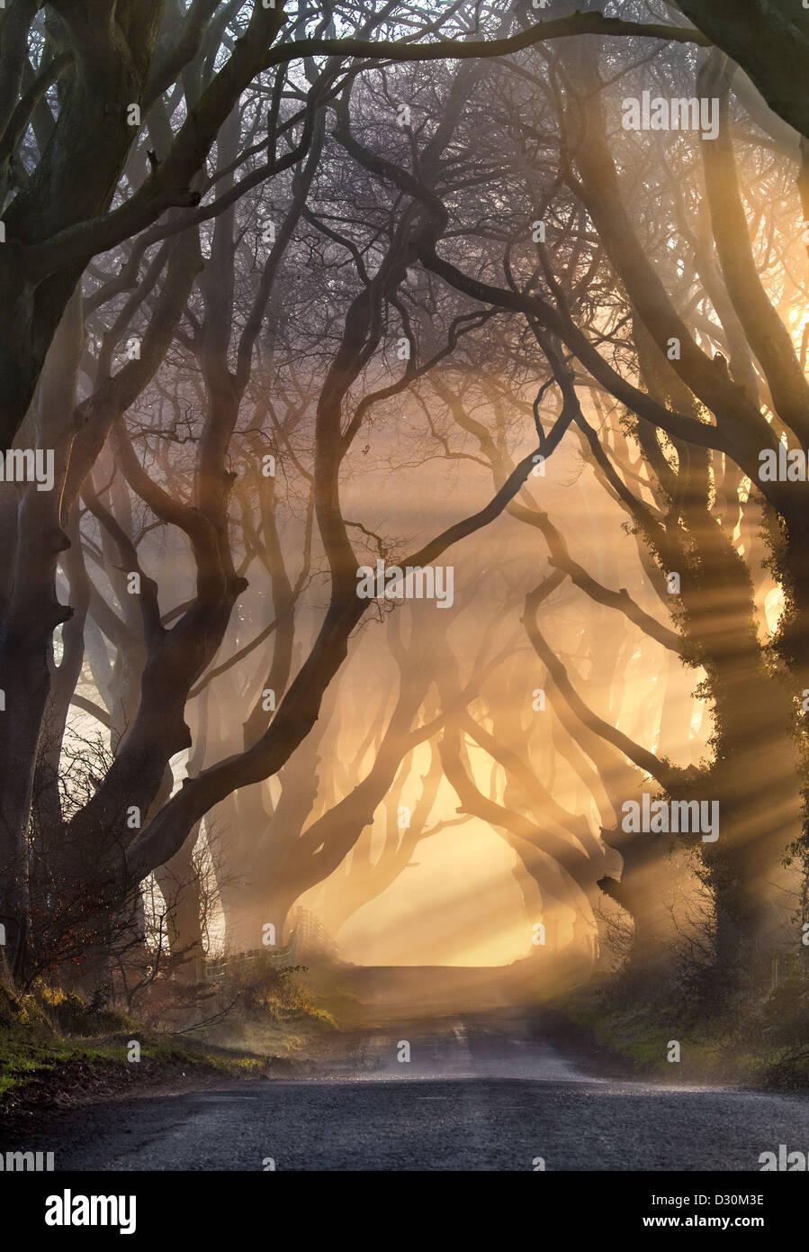 La luz de la mañana ilumina la avenida del árbol conocido como el Dark Hedges en Irlanda del Norte. Foto de stock