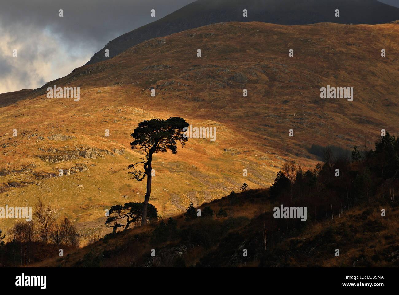 Los pinos silueta debajo de colinas de Ben más rango Crianlarich, Highlands escocesas Imagen De Stock