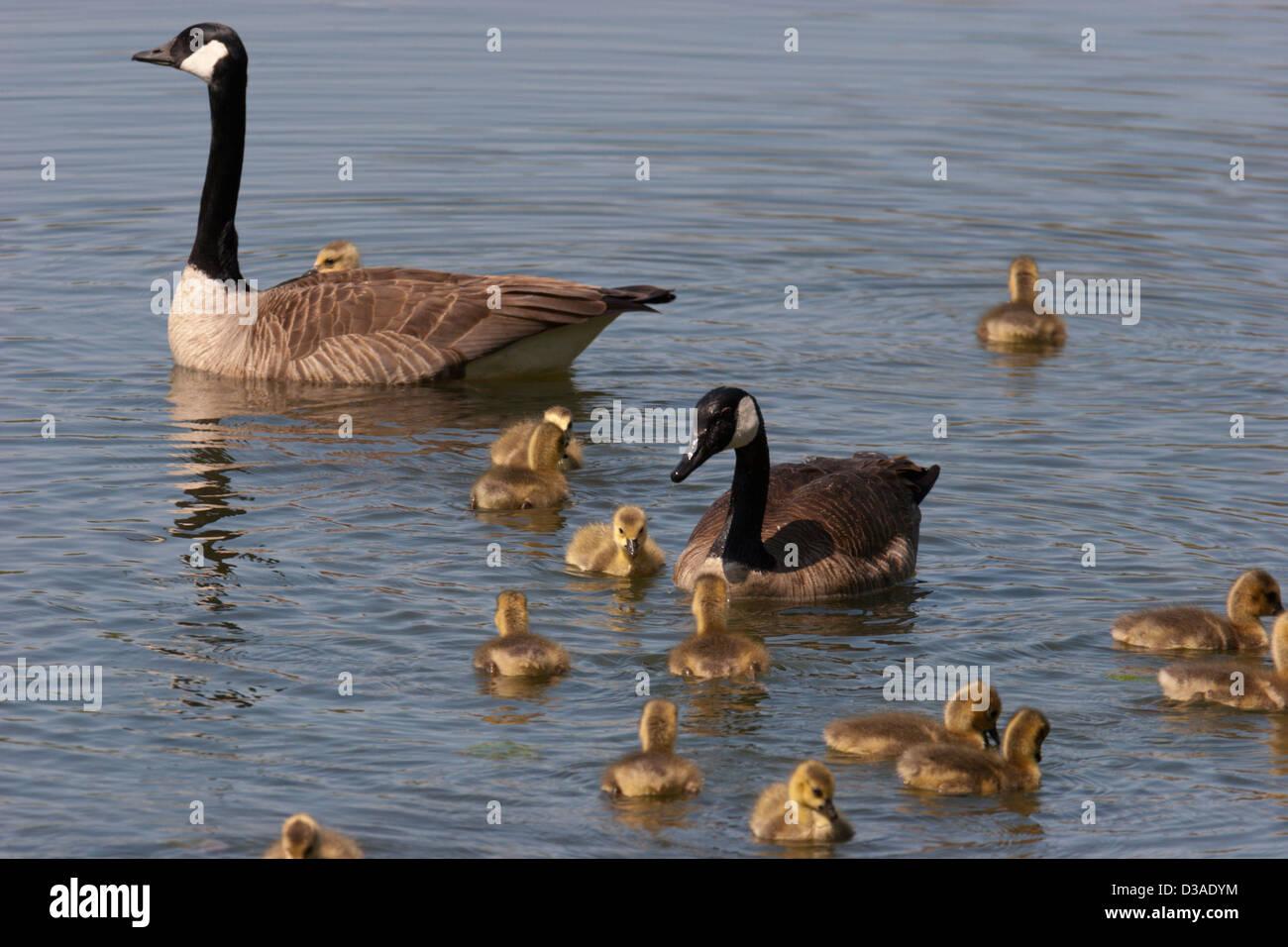 Los gansos de Canadá goose bebé Los bebés polluelos de aves Imagen De Stock