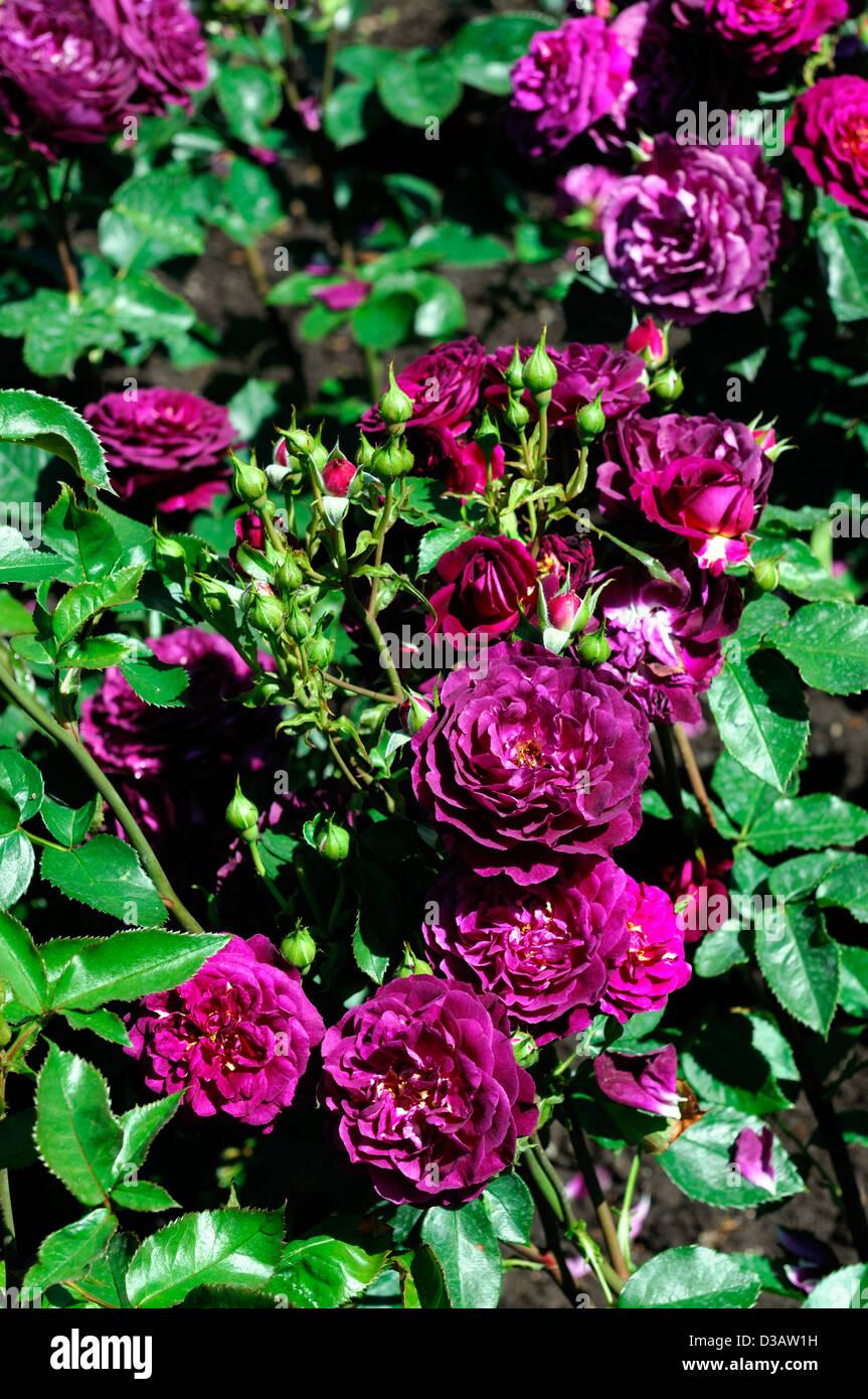 Rosa reflujo areneros flores dobles de color violeta profundo bloom blossom Floribunda rose fragancia perfumada Foto de stock