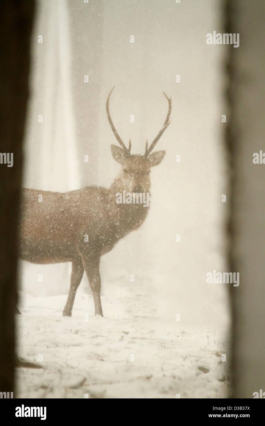 Ciervo en nieve, Highlands escocesas Imagen De Stock