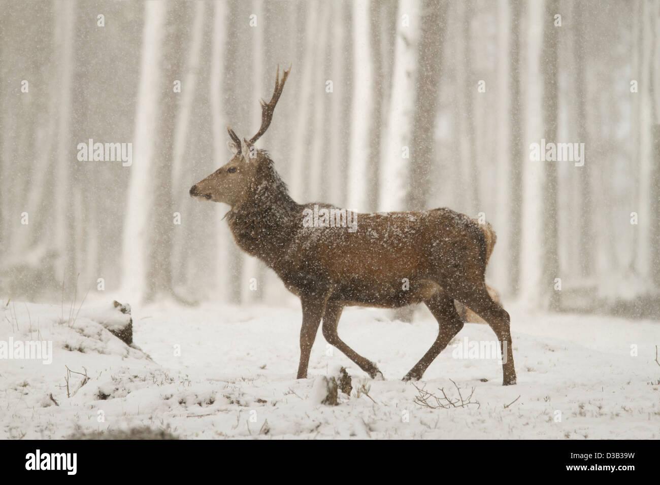 Ciervo ciervo en una ventisca, Highlands escocesas Foto de stock