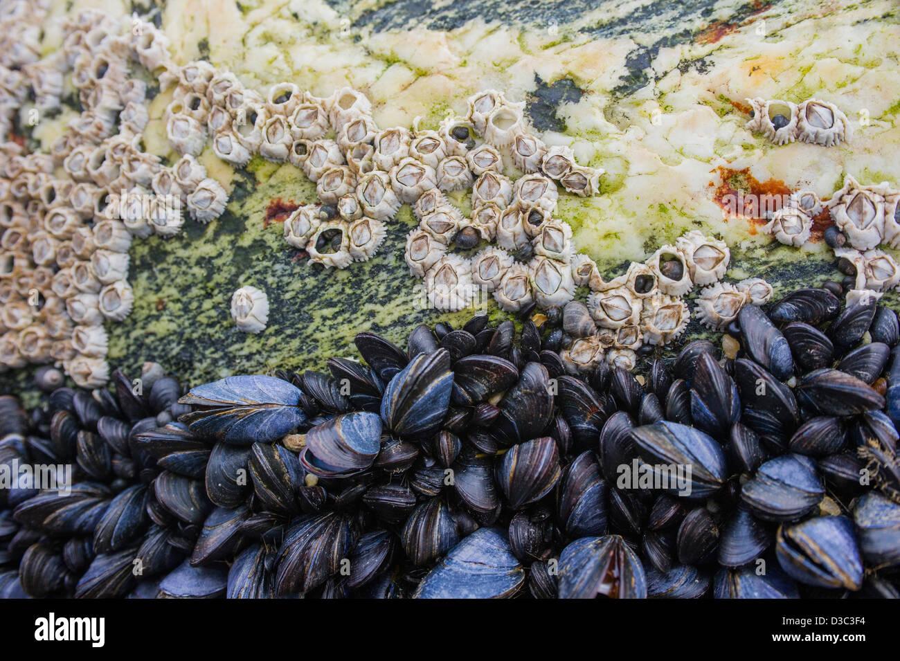Percebes y mejillones en una costa rock, el norte de Noruega. Foto de stock