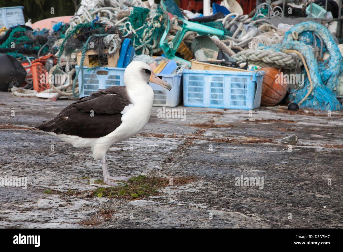 Albatros de Laysan con desechos marinos recogidos en el Atolón de Midway por voluntarios de turistas para el reciclado o la eliminación para evitar daños a la vida silvestre Foto de stock