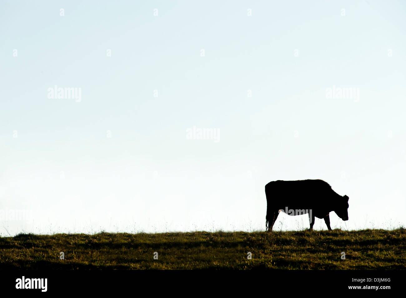 Solo vaca siluetas contra un cielo azul claro Imagen De Stock