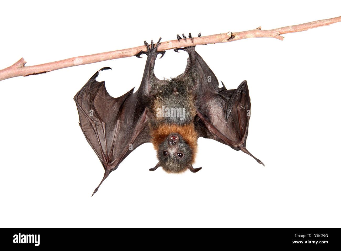 El Zorro Volador de cabeza gris fotografiado en un estudio adecuado para el recorte Imagen De Stock