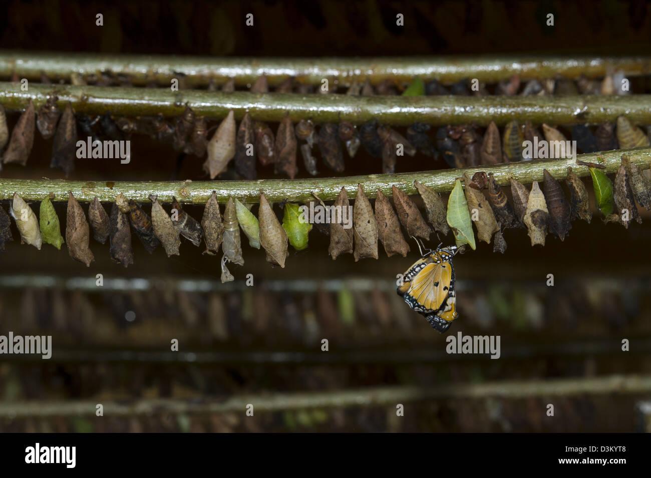 Pupa (crisálida), Proyecto Kipepeo Butterfly Farm, Arabuko Sokoke forest, Watamu, Kenya Foto de stock