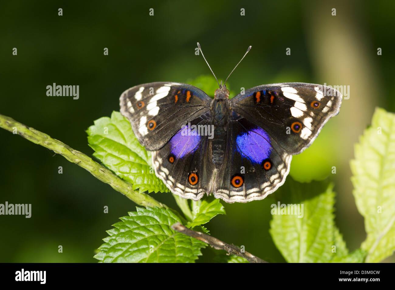 Blue pansy, Junonia oenone, Watamu, Kenya Imagen De Stock