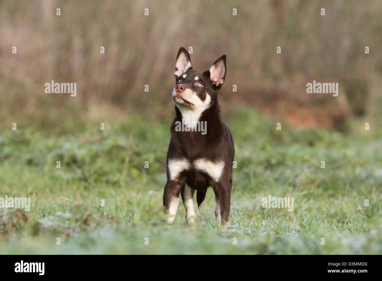 Perro de trabajo joven Kelpie en una pradera permanente Foto de stock