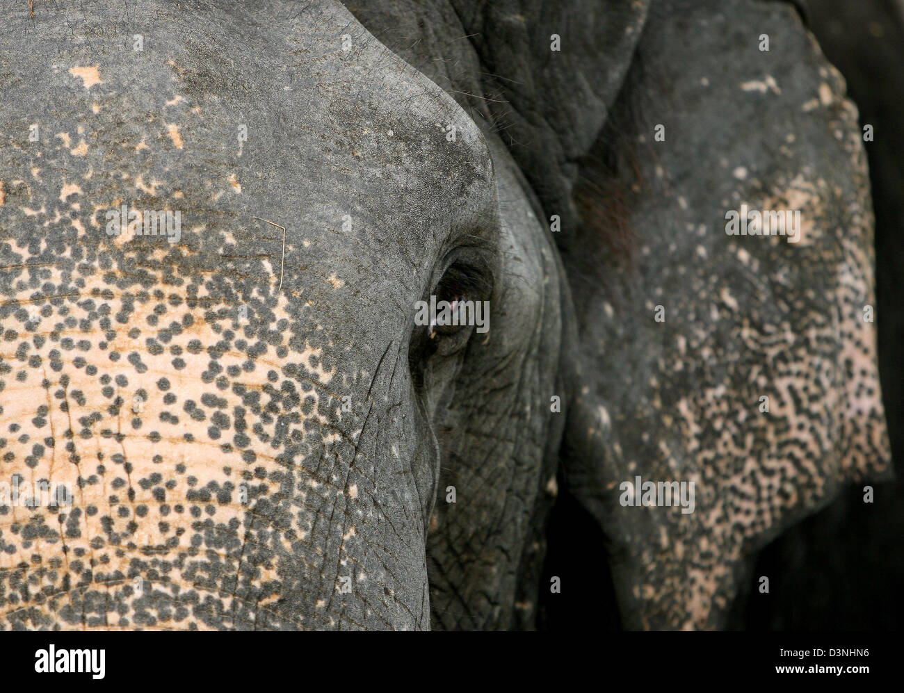 Un elefante asiático (lat.: Elephas maximus) fotografiados en el Orfanato de Elefantes en Pinnawela, Sri Lanka, 26 de abril de 2006. Los elefantes son altamente reconocido en Sri Lanka por su capacidad de trabajo. Caminar por debajo del estómago de un elefante shal traer suerte a lo largo de toda la vida. Foto: Maurizio Gambarini Foto de stock