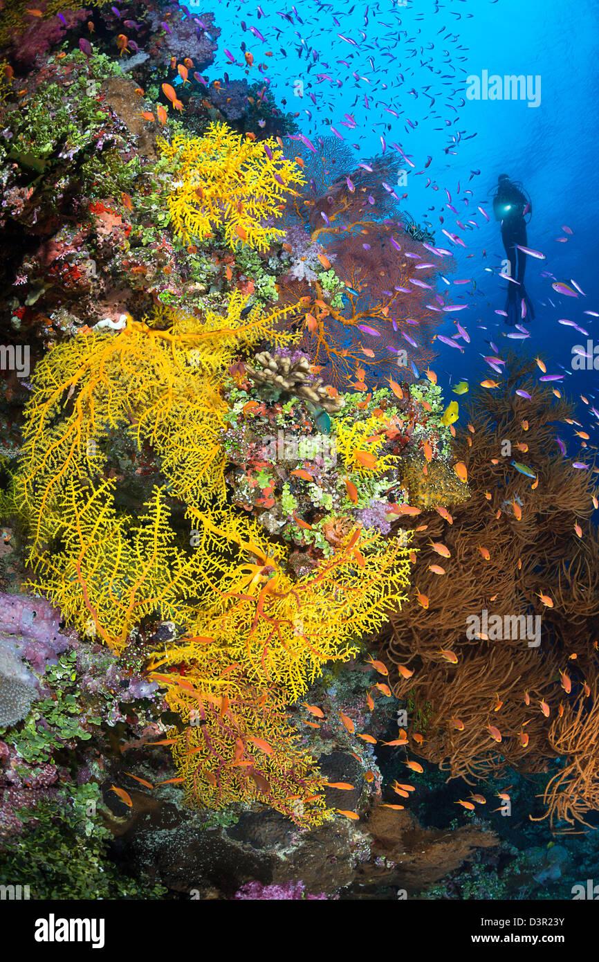 Diver (MR) y una escena de arrecifes de Fiji con diversas formas de coral blando y escolaridad anthias. Foto de stock