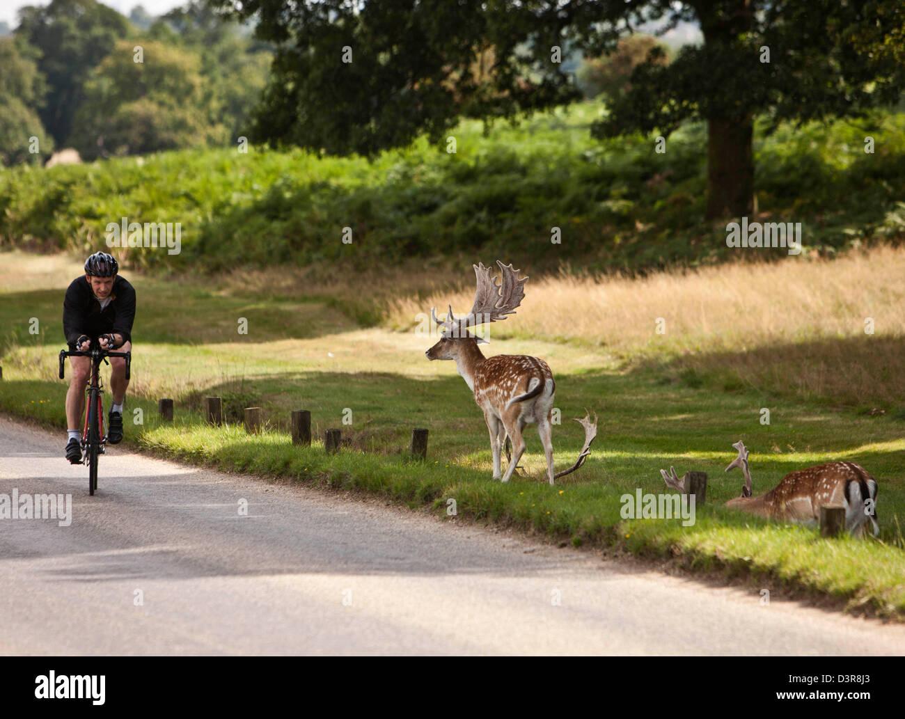 Ciclista en Richmond Park, con ciervos, Londres, Inglaterra, Reino Unido. Imagen De Stock