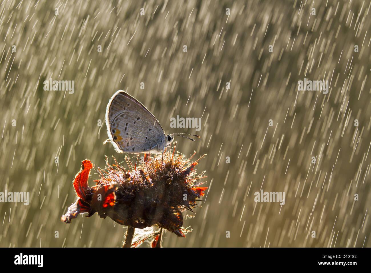 Cola oriental azul (Cupido comyntas) Butterfly en la lluvia Foto de stock