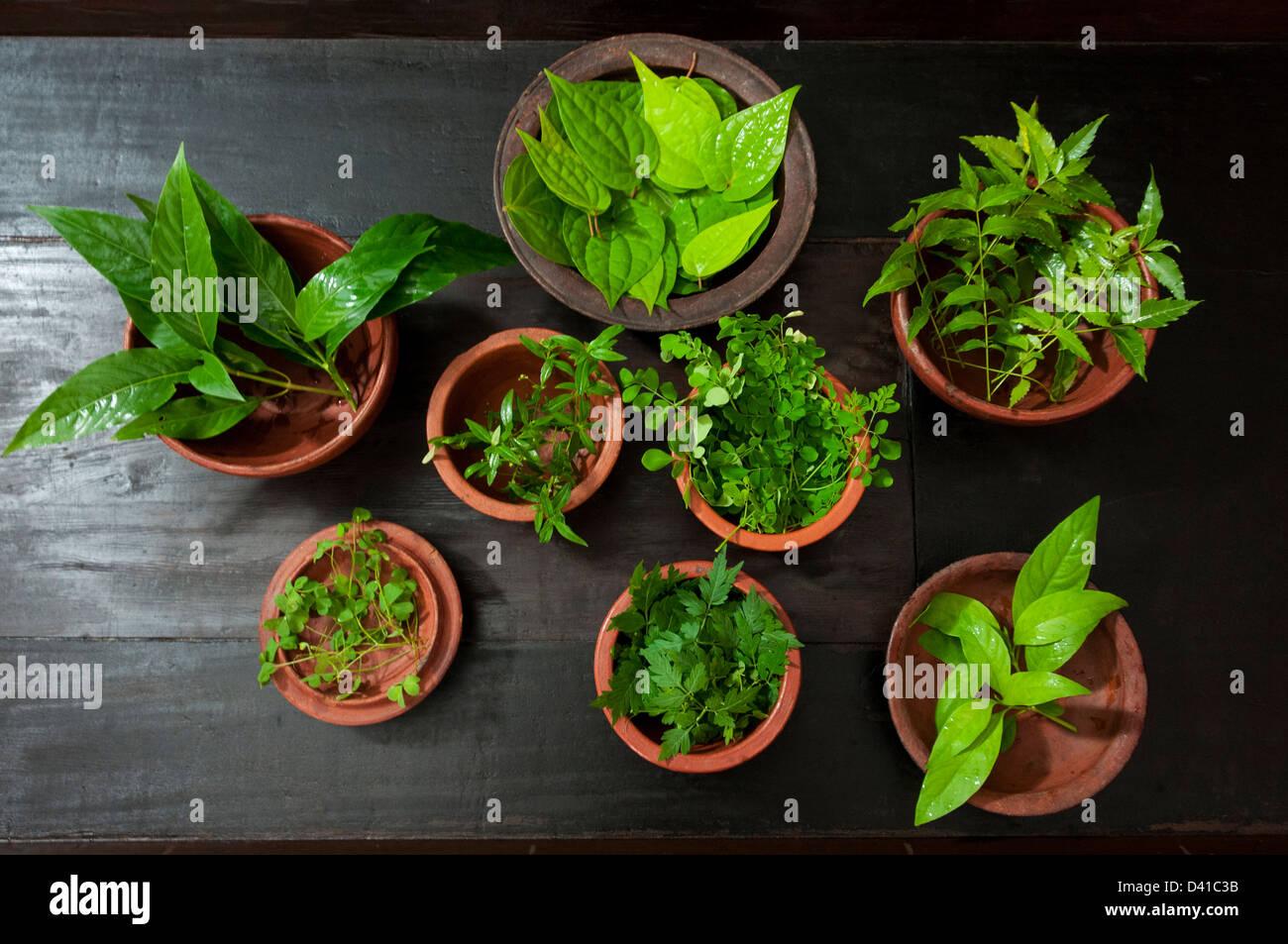 Hierbas medicinales plantas mantenidas en potes, utilizados para la elaboración de medicinas para el ayurveda Imagen De Stock