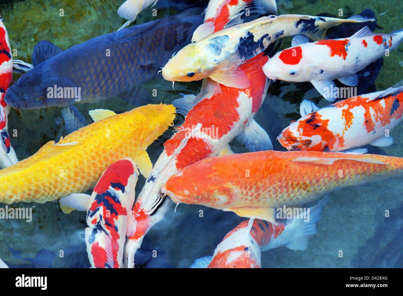 Varias carpas en un estanque Foto de stock