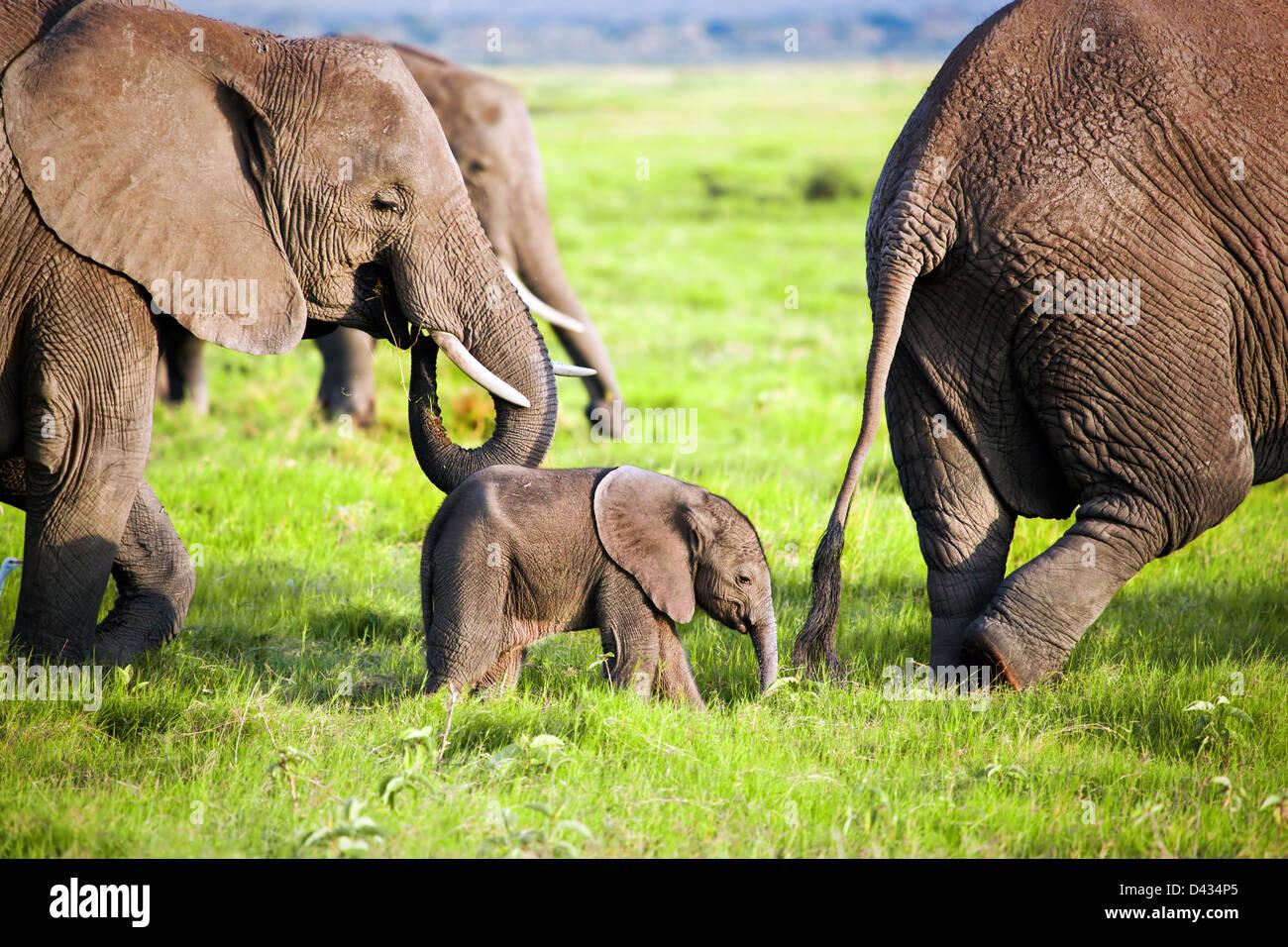 Bebé elefante y familia en la sabana africana en el Parque Nacional Amboseli, Kenia, África Imagen De Stock