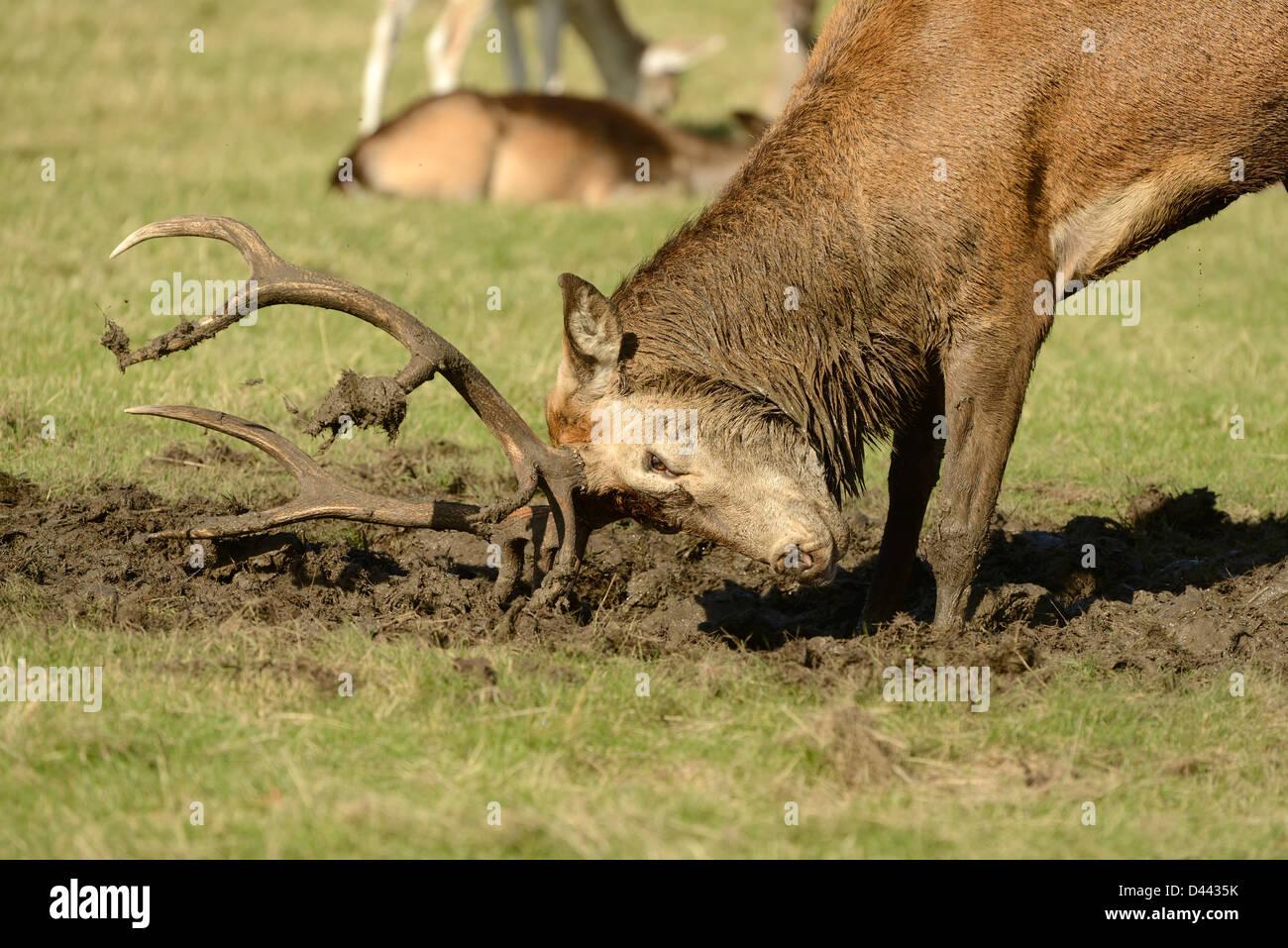 Ciervo rojo (Cervus elaphus) cubriendo el ciervo Cornamenta en barro durante la rutina, Richmond Park, Inglaterra, Imagen De Stock
