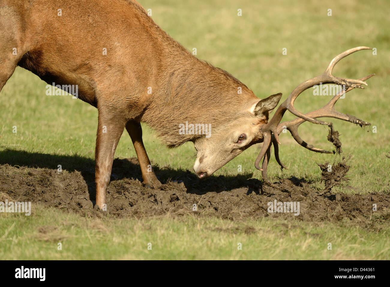 Ciervo rojo (Cervus elaphus) cubriendo el ciervo Cornamenta en barro durante la rutina, Richmond Park, Octubre Imagen De Stock
