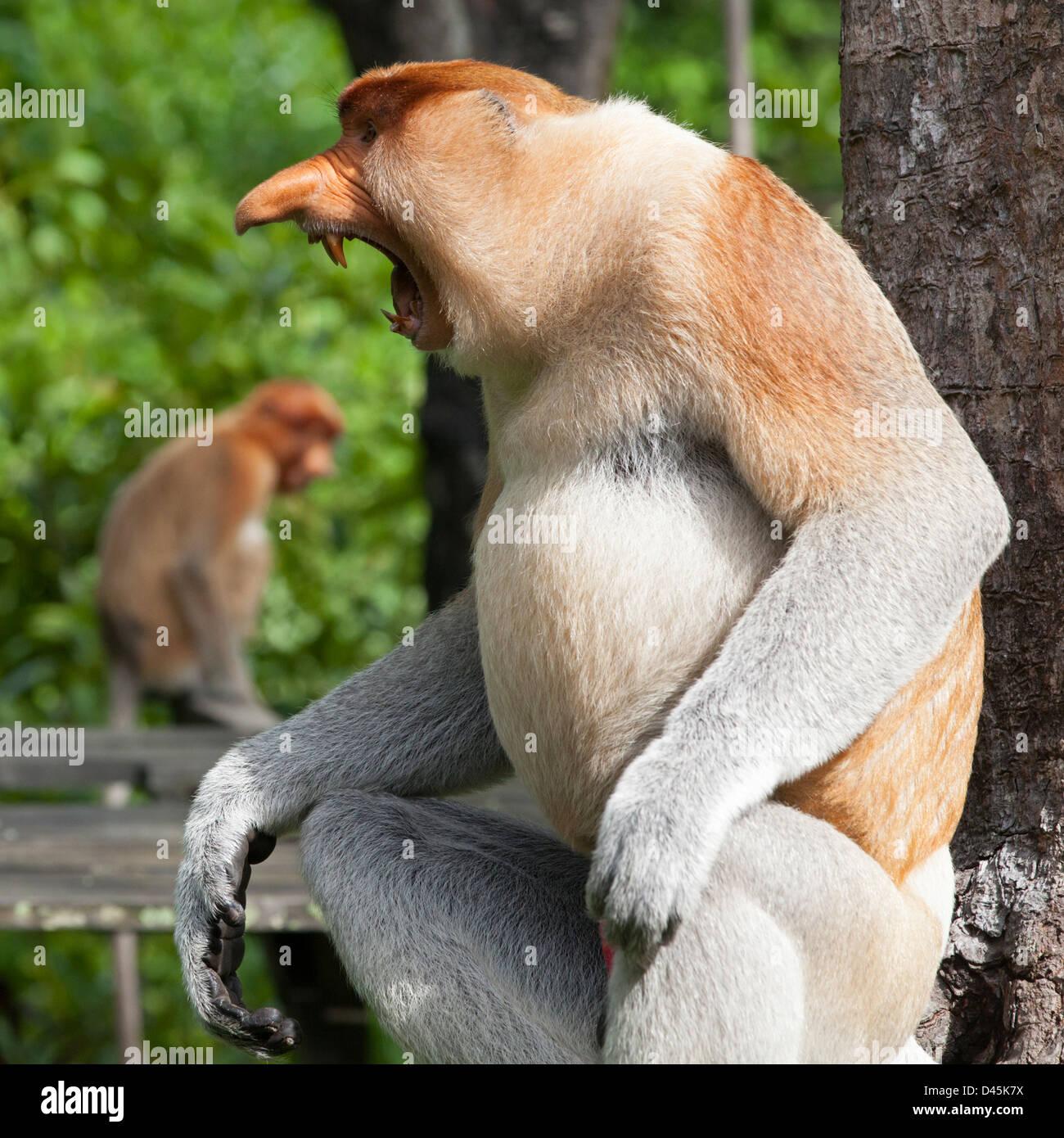 Probóscide Mono macho dominante (Nasalis larvatus) amenaza mostrar Imagen De Stock