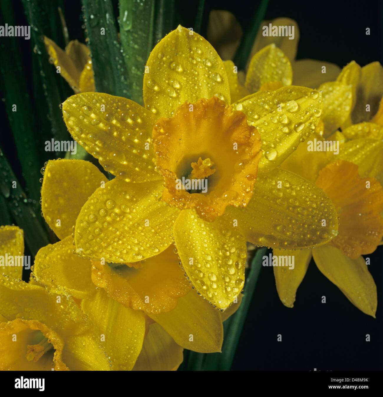 Dewy gotas de agua sobre un narciso amarillo, Narciso, flor Imagen De Stock