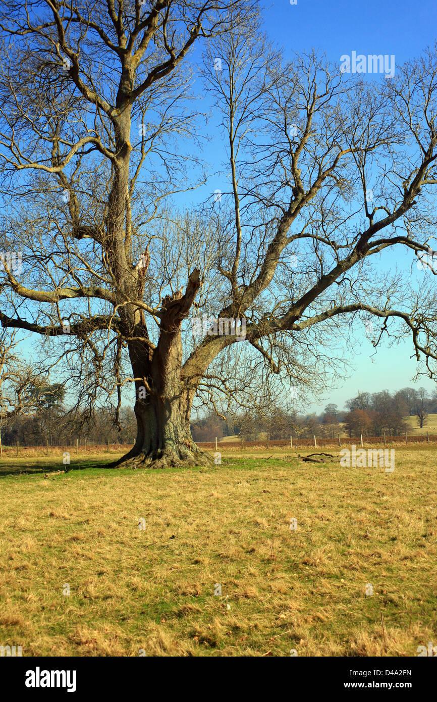 Los fresnos en invierno en Hotfield, Ashford, Kent, Reino Unido Foto de stock