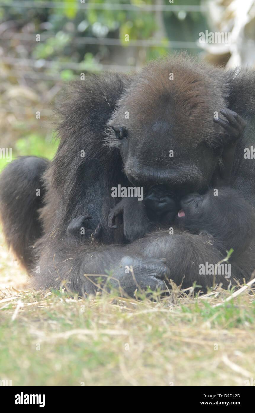 Hembra de gorila de las tierras bajas occidentales abrazos de bebé Foto de stock