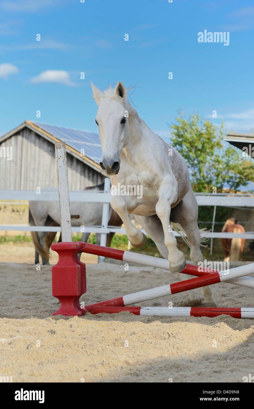 Caballo gris saltando en un show de saltos, retrato del curso Imagen De Stock