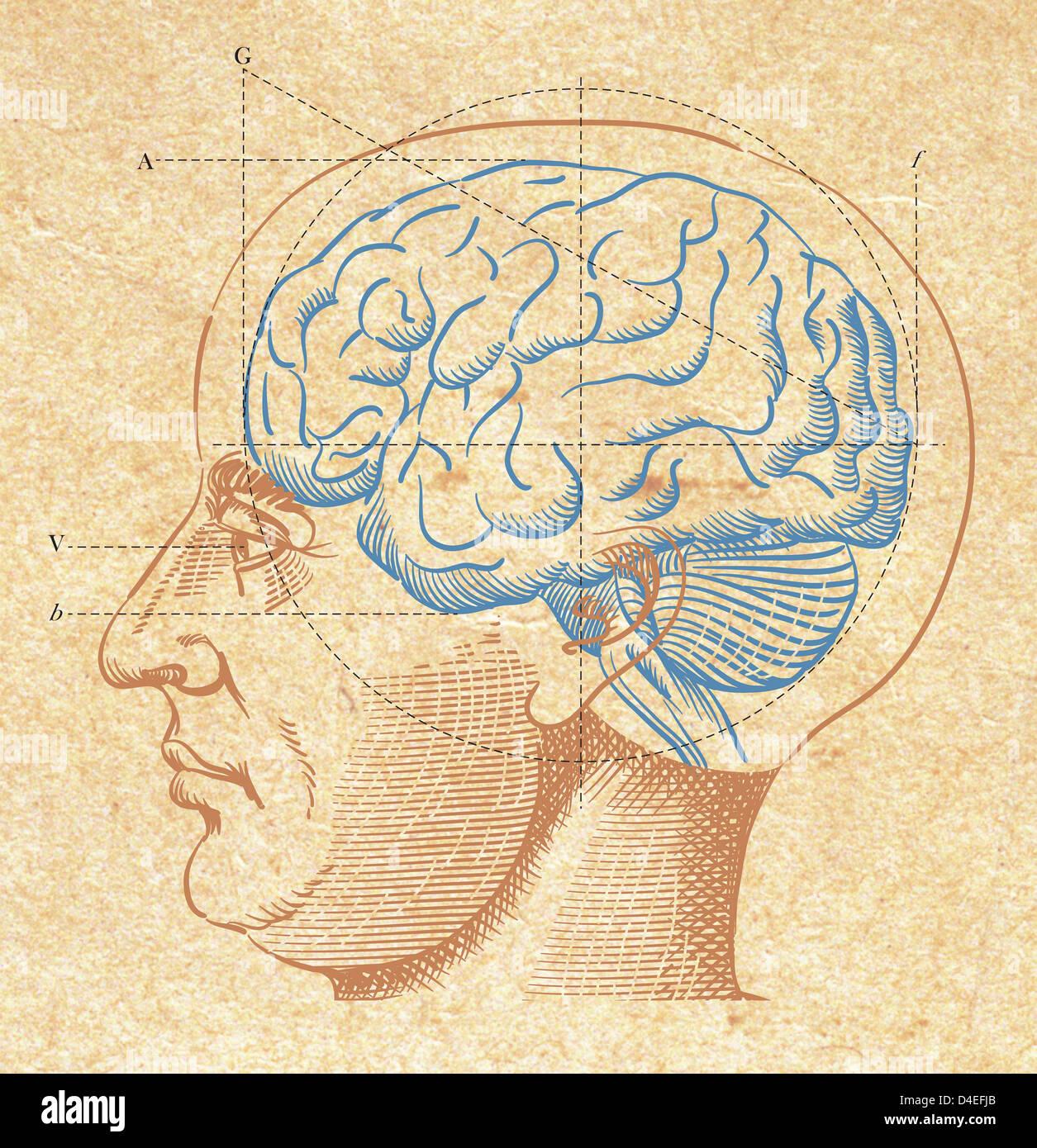 Un diagrama del cerebro humano Imagen De Stock