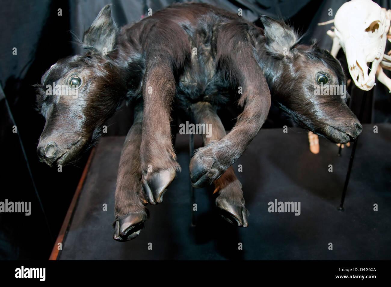 Los nuevos rellenos se unió a los terneros nacidos muertos pegadas Imagen De Stock