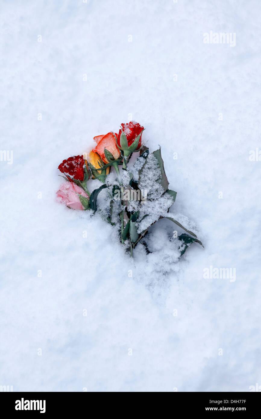Un ramo de rosas cubiertos de nieve. Imagen De Stock