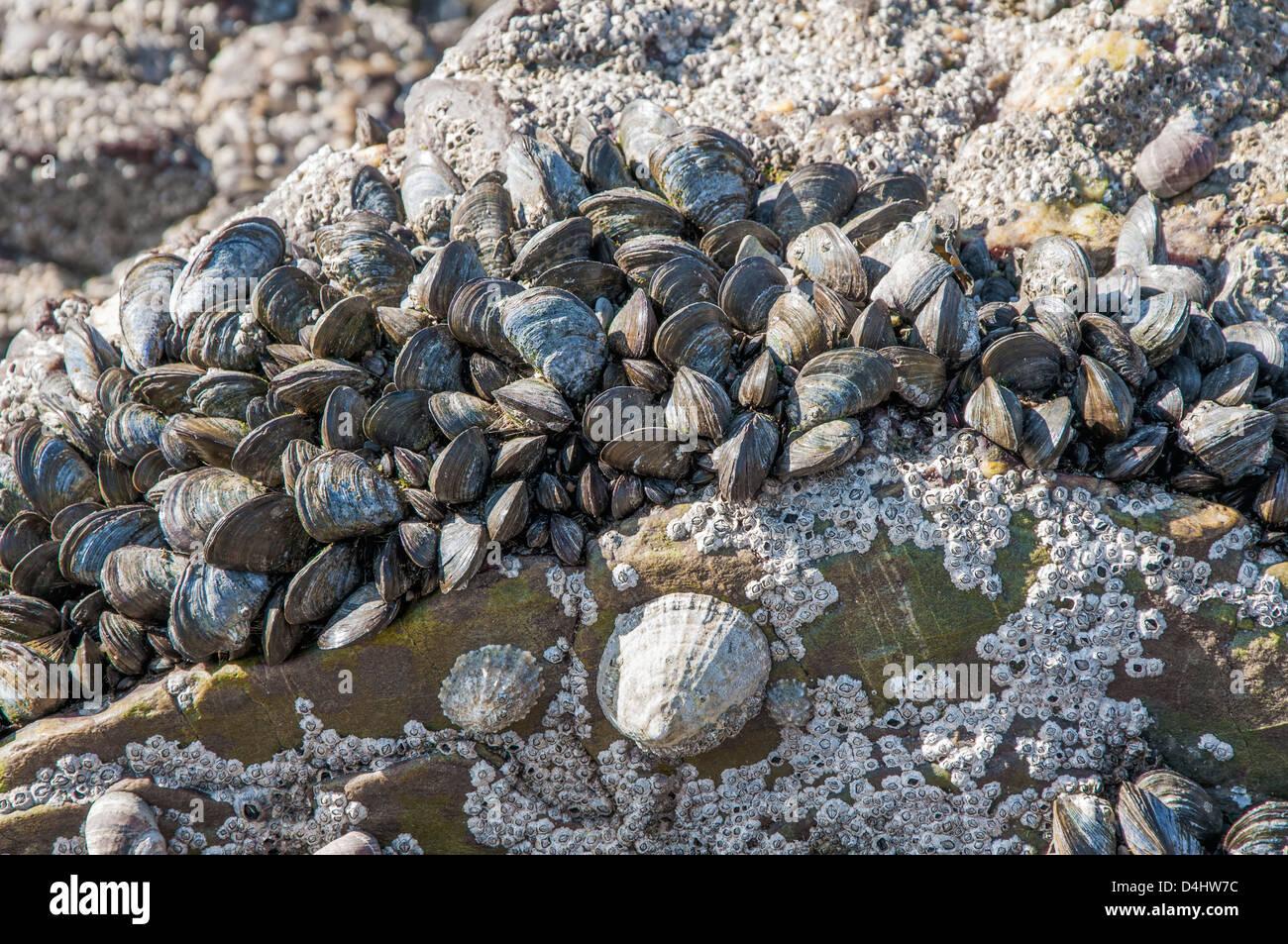 Percebes, mejillones y lapas en las rocas en la zona intermareal Foto de stock