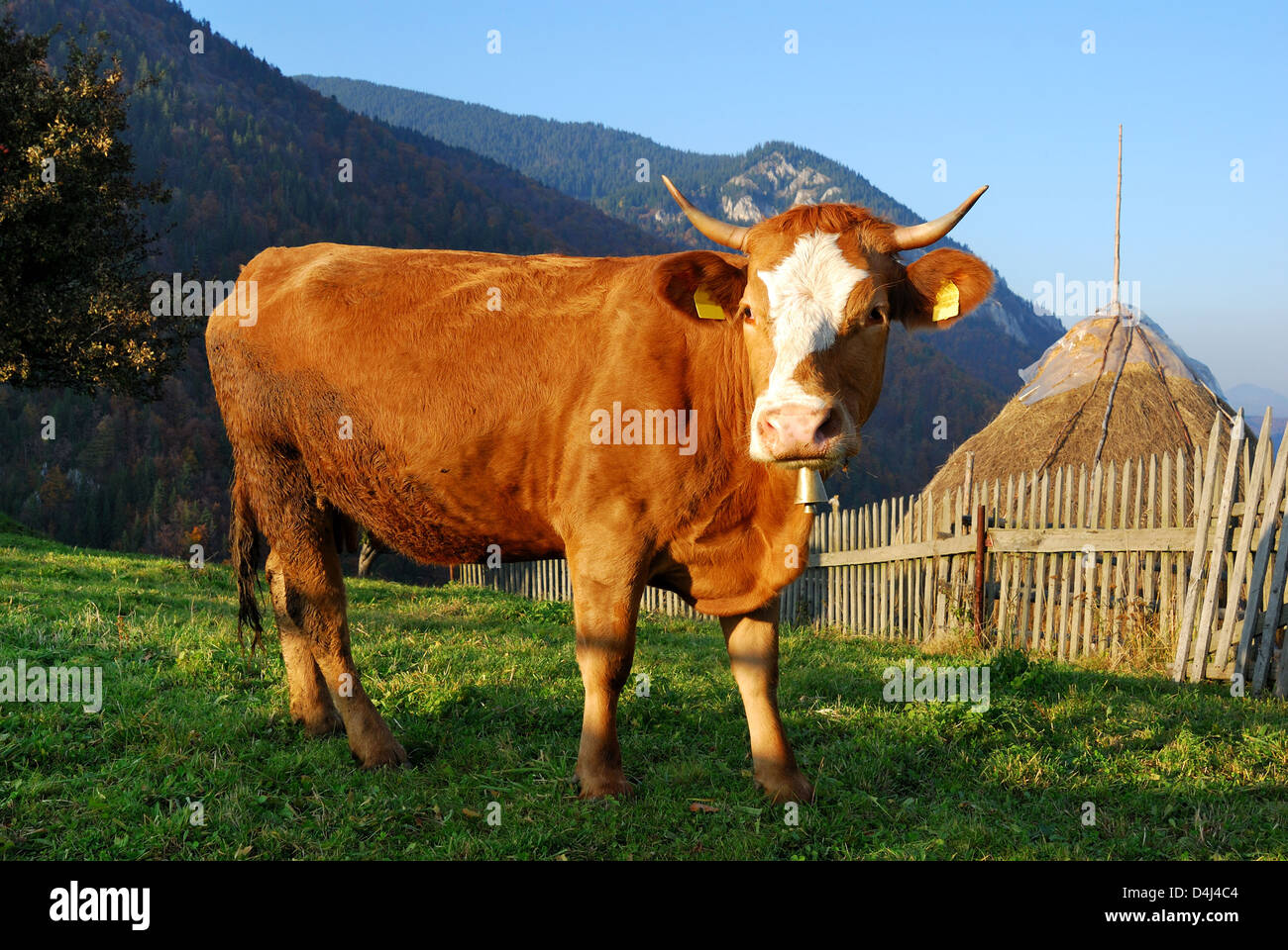 Paisaje rural en las montañas de los Cárpatos con la vaca en la imagen. Foto de stock