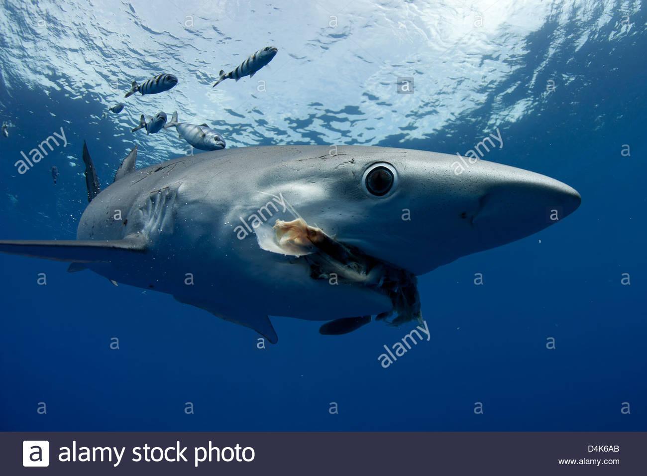 El tiburón y el pez nadando bajo el agua Imagen De Stock