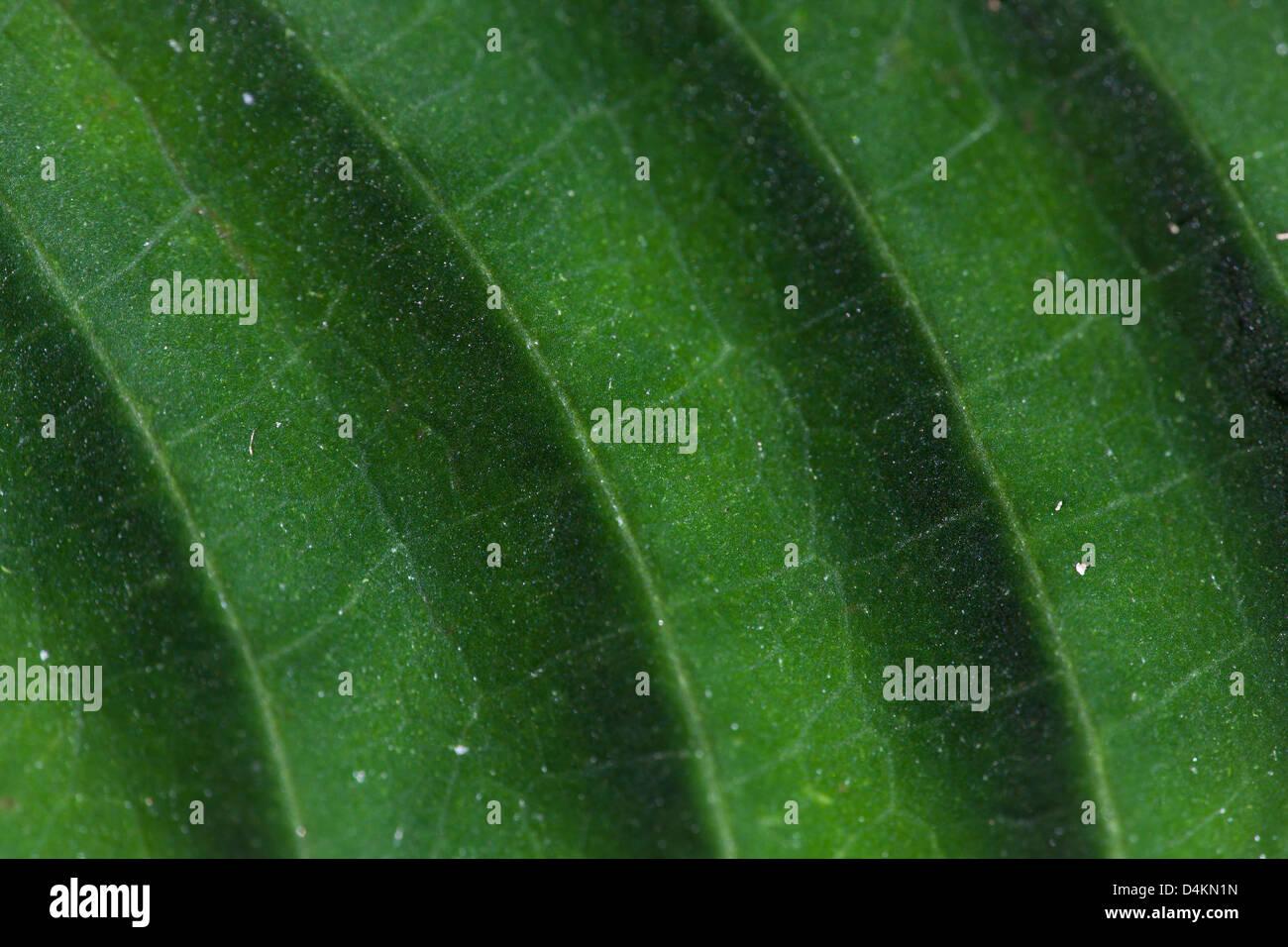 Estructuras de hojas en el Parque Nacional La Amistad, provincia de Panamá, República de Panamá. Foto de stock