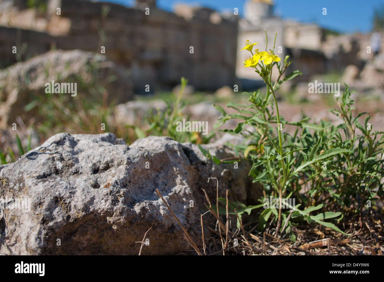 Flores Silvestres Amarillas Pequenas Entre Grandes Piedras Foto