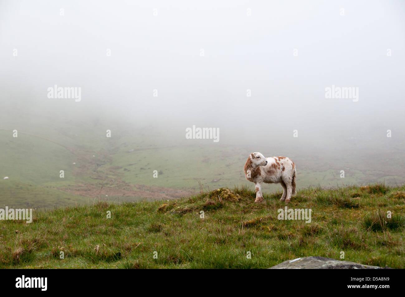Ovejas en Snowdon Foto de stock