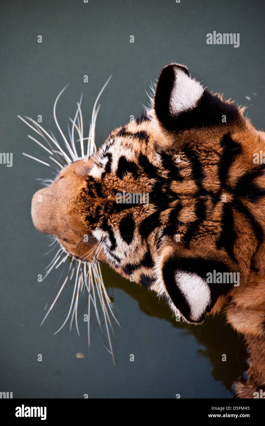 Templo del Tigre en Tailandia Foto de stock