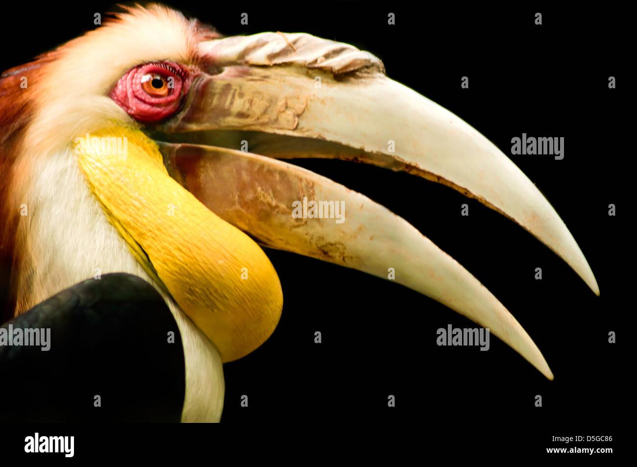 Primer plano de un rojo-eyed papúes en Bucero birdpark tomadas durante el día. Imagen De Stock