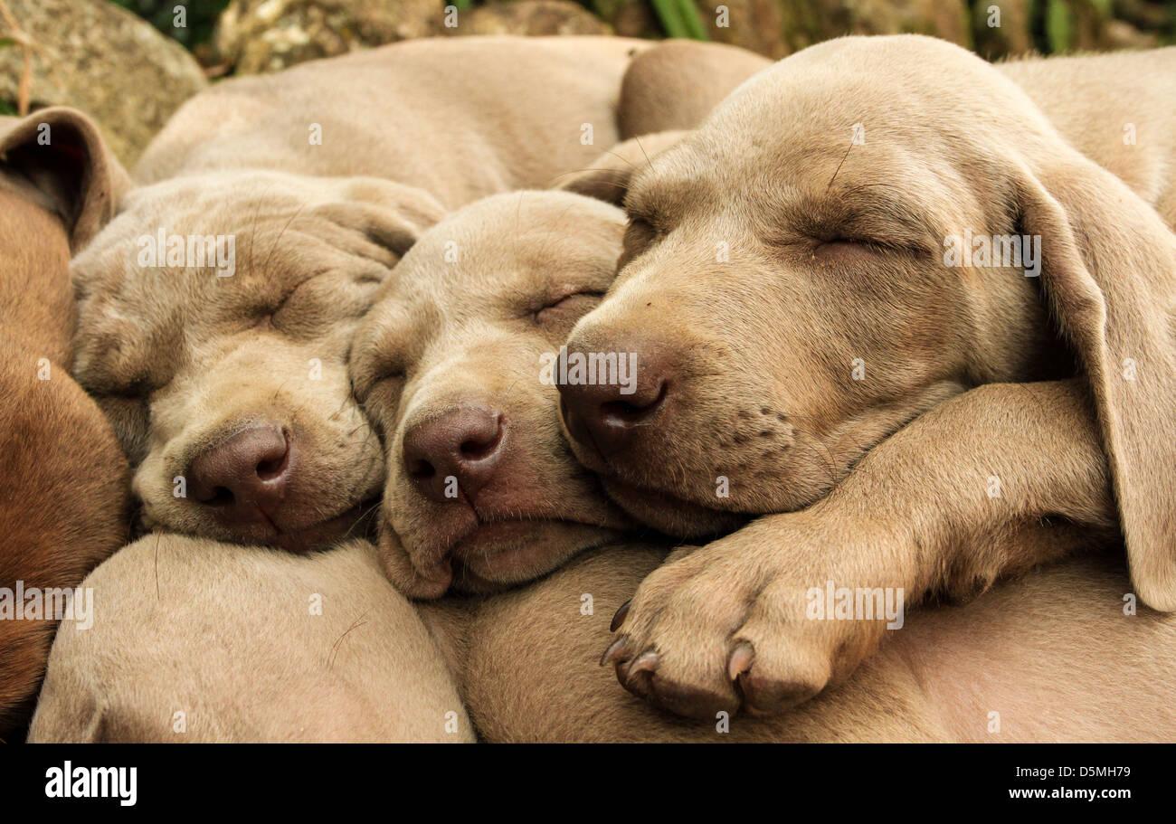 La hora de la siesta de una camada de cachorros Weimaraner travieso en Colombia Imagen De Stock