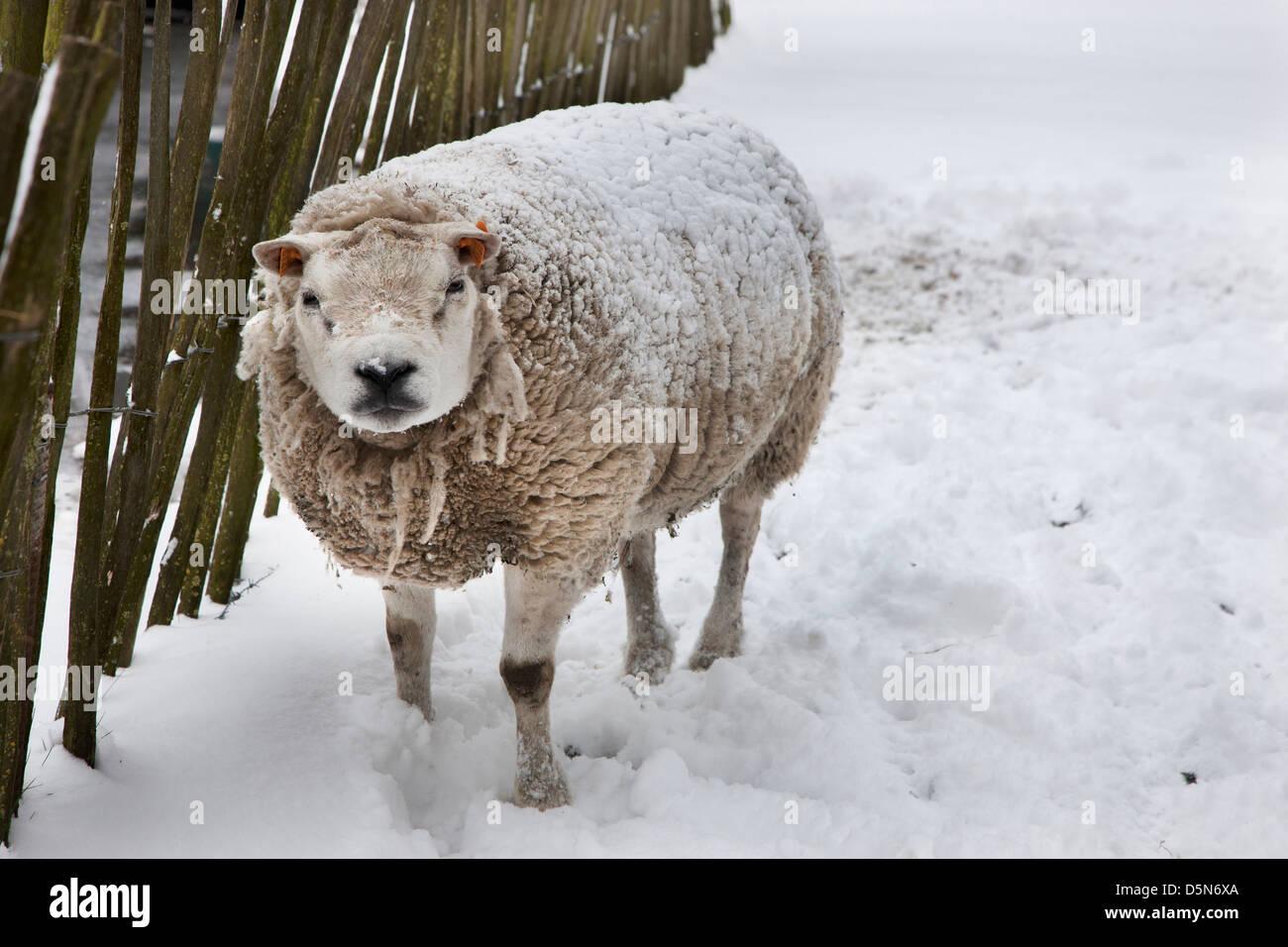 Ovejas domésticas en capa gruesa en la nieve en invierno Imagen De Stock